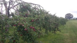 Apple Trees, Handpicked Apples