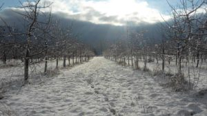 Apple Orchard in the winter